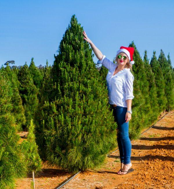 Fresh Christmas Trees 7 Foot Premium