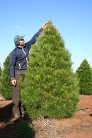 Fresh Christmas Trees 7 Foot Traditional