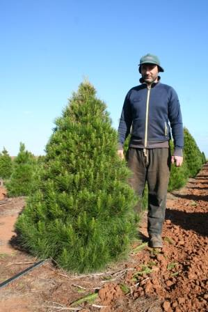 Fresh Cut Christmas Trees 4 Foot Traditional