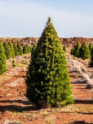 Live Christmas Trees 5 Foot Premium