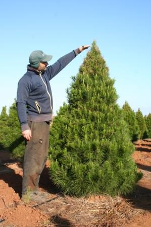 Real Christmas Trees 6 Foot Traditional